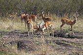 Impalas fighting in the savannah - Masai Mara NR - Kenya