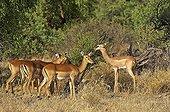 Impala and gerenuks - Samburu NR - Kenya