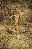 Gerenuks eating the leave of a shrub - Samburu NR - Kenya