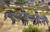 Grevy's zebras in the savannah - Samburu NR - Kenya
