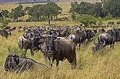 Wildebeests resting during their migration - Masai Mara NR