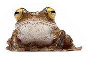 Java Flying Frog on white background