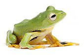 Kio Flying Frog on white background