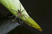 Six-spotted fishing spider in Florida - USA
