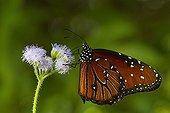 Queen butterfly on a flower - Florida - USA