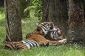 Bengal tigers grooming themselves