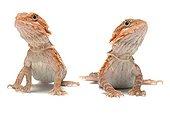 Bearded dragons 'Transluscent red hypomelanist'