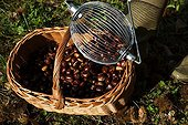 Tool to collect chestnuts or walnuts - France
