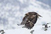 Golden eagle flying away - Rhodopes mountains - Bulgaria