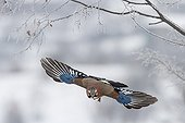 Eurasian jay flying away - Central Bulgaria