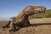 Komodo dragon on a beach - Komodo Indonesia