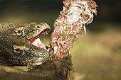 Komodo Dragons devouring a Goat - Rinca Indonesia