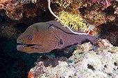 Murène ondulante et poissons nettoyeurs - Ari Atoll Maldives