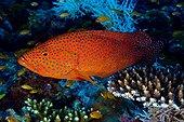 Vieille de corail sur récif de corail - Ari Atoll Maldives