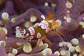 Crevette nettoyeuse sur Anémone - North Ari Atoll Maldives