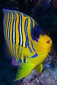 Poisson-ange royal sur le récif - Ari Atoll Maldives