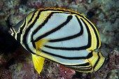 Poisson papillon de Meyer sur le récif - Ari Atoll Maldives