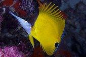 Poisson-pincette jaune sur le récif - Ari Atoll Maldives