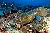 Tortue verte sur le récif de corail - Ari Atoll Maldives
