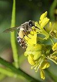 Yellow-legged Mining-bee on Mustard flower - Northern Vosges