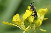 Solitary Bee on Mustard flower - Northern Vosges France