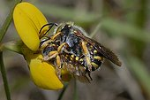 Cotton Bee mating on Lotus flowers - Northern Vosges France
