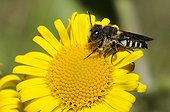 Cuckoo Bee on Meadow False Fleabane - Northern Vosges France ; Bee parasite Megachile rotundata