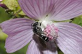 Mining bee on Mallow flower - Northern Vosges France