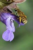 Mining bee on Sage flower - Northern Vosges France