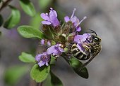 Mining bee on Wild Thyme flower - Northern Vosges France