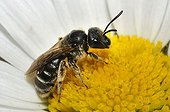 Mining bee on Daisy flower - Northern Vosges France