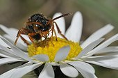 Nomad bee on Lawndaisy flower - Northern Vosges France