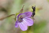 Nomad bee sleeping on Geranium flower - Northern Vosges ; Nomad bee sleeping pinched by the mandibles on a Geranium