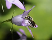 Mason Bee on Bellflower - Northern Vosges France