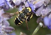 Potter Bee on garden flower - France