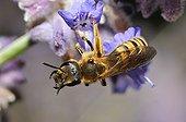 Mining Bee on garden flower - France