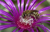 Mining Bee on cactus flower - France