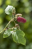 Blackberry 'Tayberry' in a garden