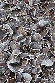 Hoarfrost on Italian alder leaves on soil in a garden