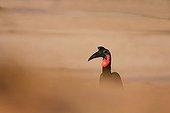 Abyssinian ground hornbill in sand wind storm - Senegal