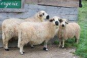 Sheep before a sheepfold - France ; Animal Park Sainte-Croix