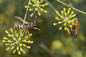 Social wasps gathering fennel flowers nectar in summer