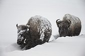 American Bisons walking in the snow - Yellowstone USA