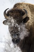 Portrait of American Bison in the snow - Yellowstone USA