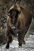 American Bison running in the snow - Yellowstone USA