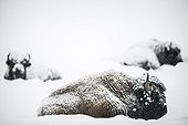 American Bisons at rest in the snow - Yellowstone USA