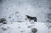 Grey Wolf Howling in the snow - Yellowstone USA