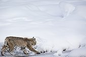 Bobcat walking in the snow - Yellowstone USA