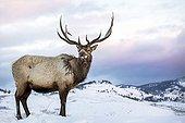 Wapiti in the snow at dawn - Yellowstone USA ;
