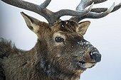 Portrait of Wapiti in winter - Yellowstone USA ; Portrait de Wapiti en hiver - Yellowstone USA